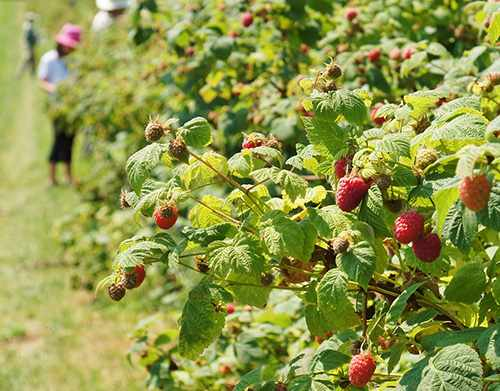 raspberry field during harvest